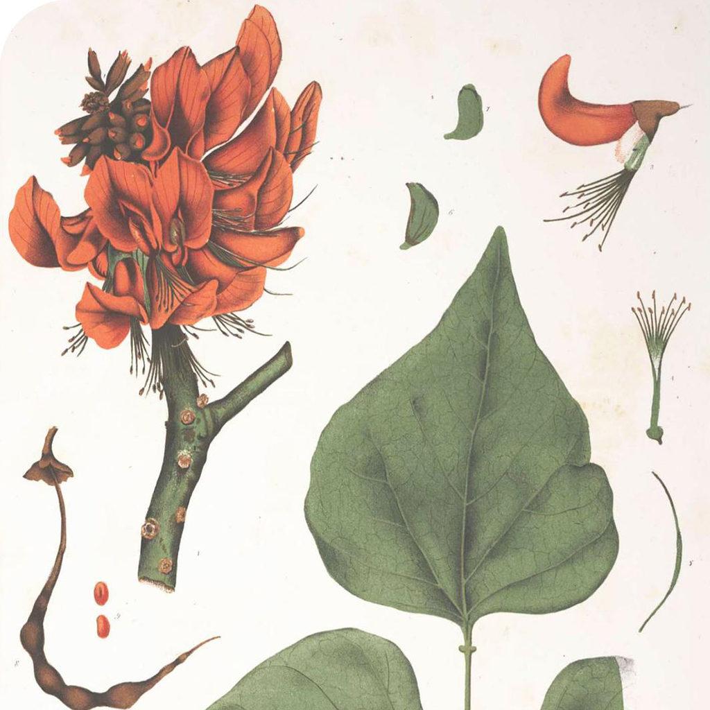 Erythrina fusca amasisa