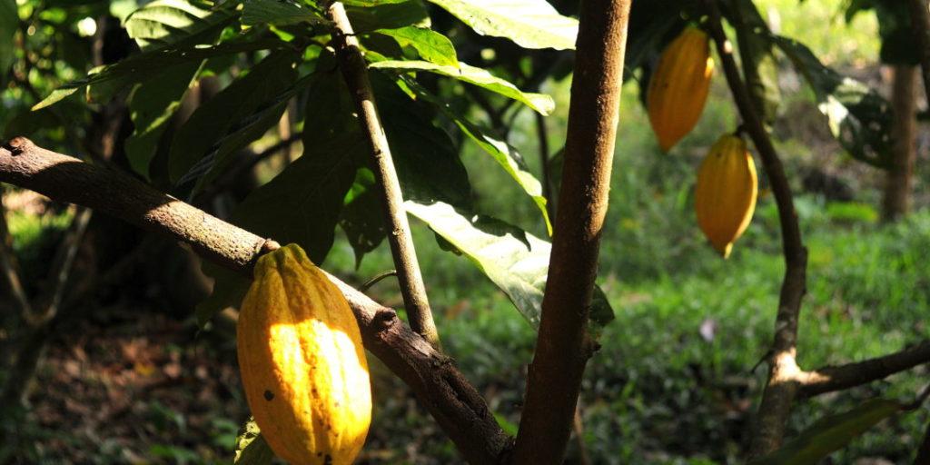Les conditions d'un agrosystème à cacao performant