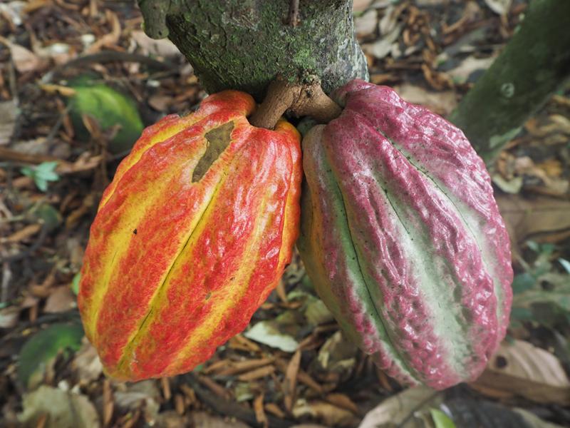Cacao Pérou