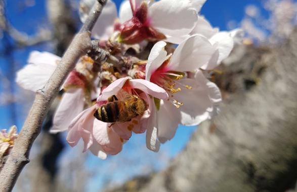 L'abeille domestique, Apis mellifera