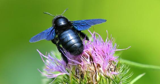 L'abeille charpentière Xylocope violacea